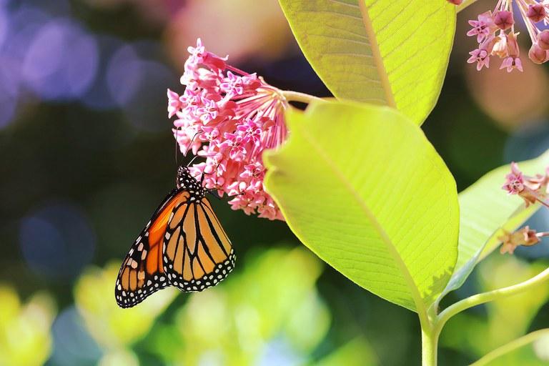 a-monarch-butterfly-4419810_1920.jpg
