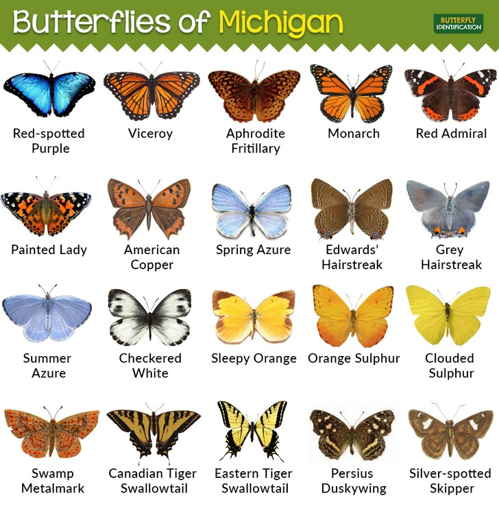 Butterflies-in-Michigan-MI.jpg