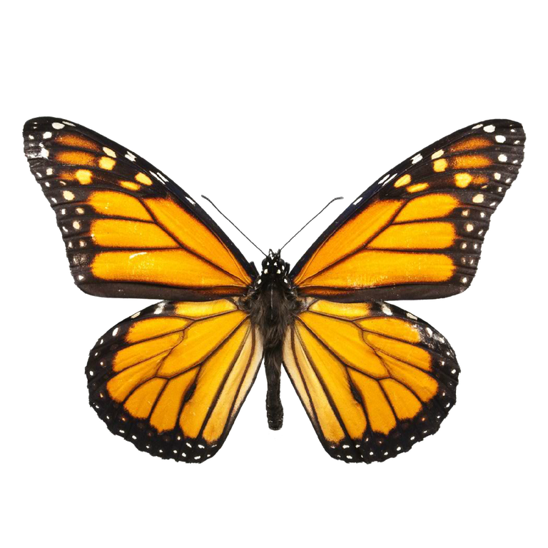BUTTERFLY IMAGE.png