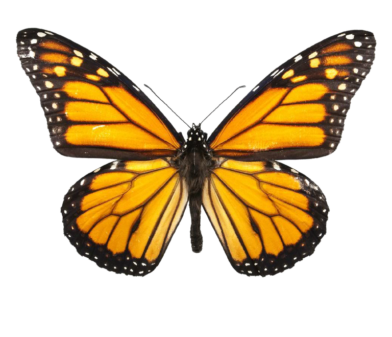 BUTTERFLY IMAGE (1).png